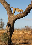 Title: Cheetah in tree II