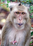 Title: crab eating macaque