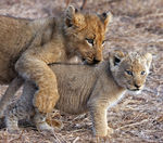 Title: lion pile-up