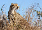 Title: cheetah lookout
