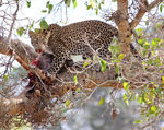 Title: leopard in tree