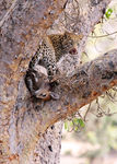 Title: leopard in the tree