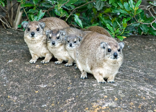 rock hyrax family