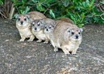 Title: rock hyrax family