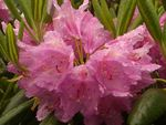 Title: Dewdrenched Rhododendron