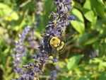 Title: Bee on a string of flowers