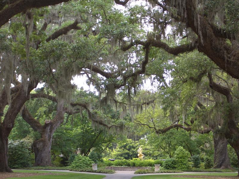 Live Oaks laden with Spanish Moss