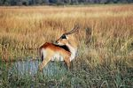 Title: Red Lechwe