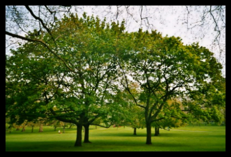 Trees in Green Park