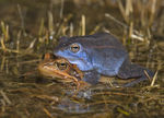 Title: Blue(ish) frog