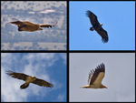 Title: Iberian vultures