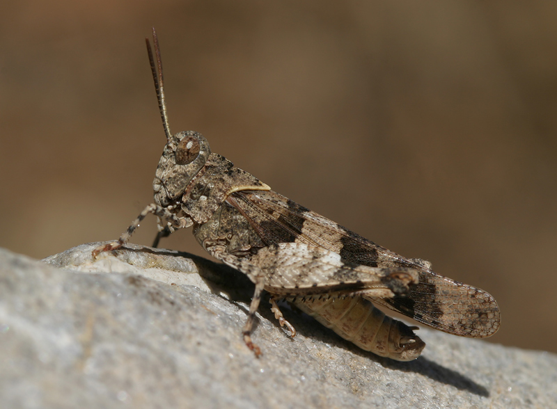 red winged grasshopper