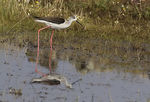 Title: Black winged stilt