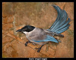 Title: Azure-winged Magpie