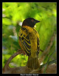Title: Black-headed Weaver