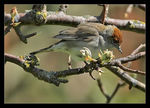 Title: Female Blackcap