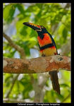 Title: Collared Aracari