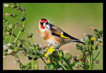 Title: Goldfinch from Spain