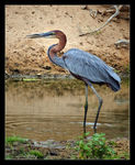 Title: World's largest heron