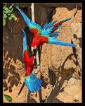 Title: Green-winged Macaw