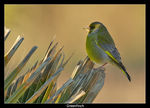 Title: Greenfinch