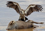 Title: African White-backed Vulture