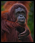 Title: Orangutan *Not from  ZOO*