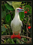 Title: Red-footed Booby