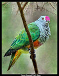 Title: Rose-Crowned Fruit-Dove