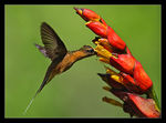 Title: Rufous-breasted Hermit