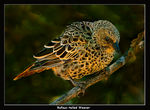 Title: Rufous-tailed Weaver
