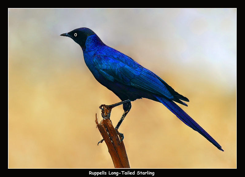Ruppells Long-Tailed Starling