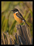 Title: Stonechat