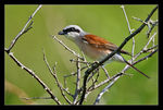 Title: Red-backed Shrike