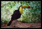 Title: Keel-billed Toucan