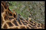 Title: Yellow and red billed on Giraffe