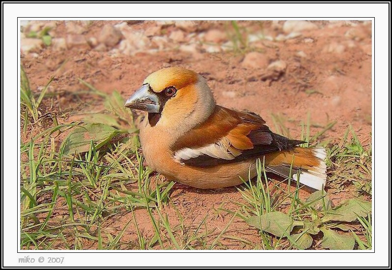 Young Hawfinch