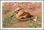 Title: Young Hawfinch