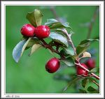 Title: Rock Cotoneaster