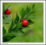 Title: Ruscus aculeatus Camera: Canon PowerShot S2 IS