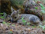 Title: Very young Roe Deer