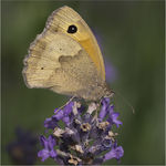 Title: Meadow Brown on Lavender