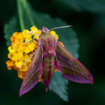 Title: Small Elephant Hawkmoth