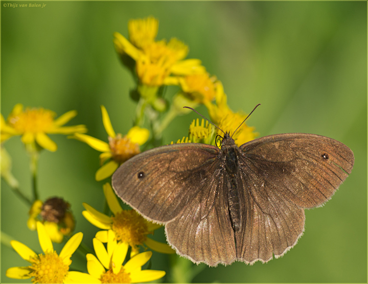 Meadow Brown male