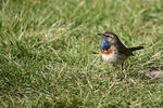 Title: Bluethroat
