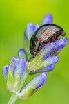 Title: Rosemary beetle