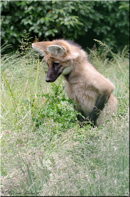 Curious Maned Wolf (young)