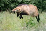 Title: Jumping Maned wolf (young)