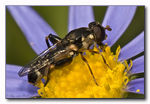 Title: Thick-legged Hoverfly