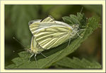 Title: Green-veined White